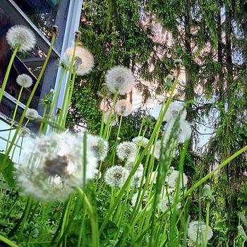 Dandelions by Amanda Richter