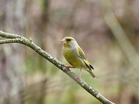 European Greenfinch by Jouko Lehto