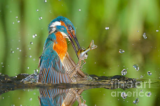 Kingfisher by Corne Van Oosterhout