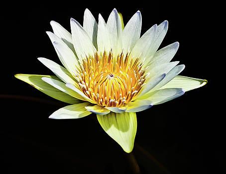 Lotus from Thailand by Prasert Chiangsakul