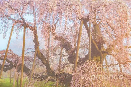 Miharu Takizakura Weeping Cherry07 by Tatsuya Atarashi