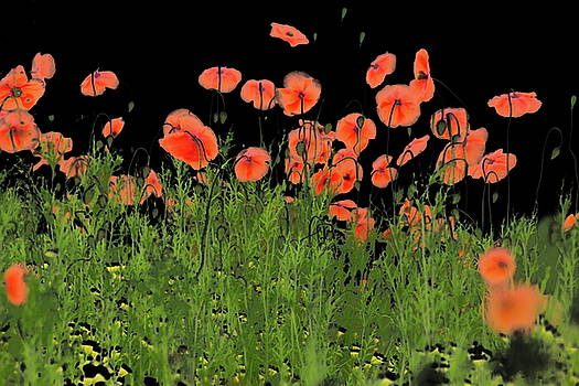 Poppies  by Ronald Jansen