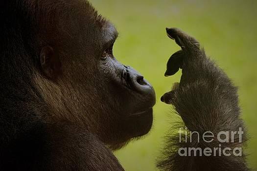 Silverback Gorilla by Paulette Thomas