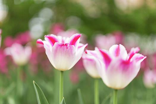 Tulips by Josef Pittner