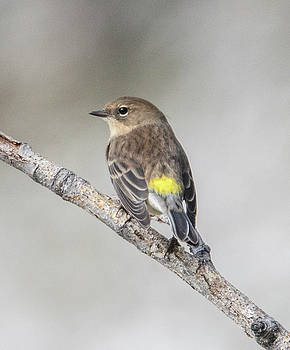 Dee Carpenter - Yellow Rumped Warbler