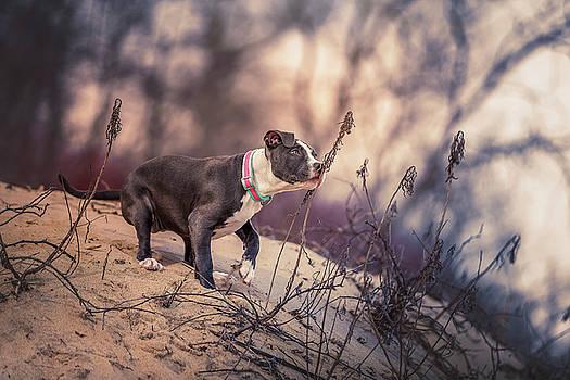 American Pitbull  by Peter Lakomy