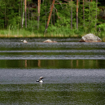 Arctic loon by Jouko Lehto