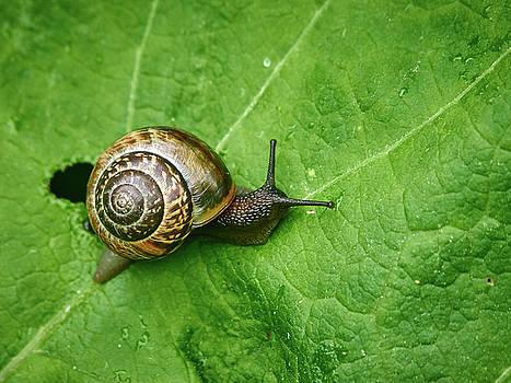 Copse snail by Jouko Lehto