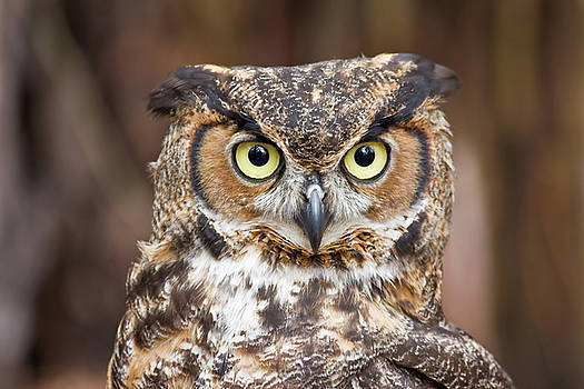 Jill Lang - Great Horned Owl