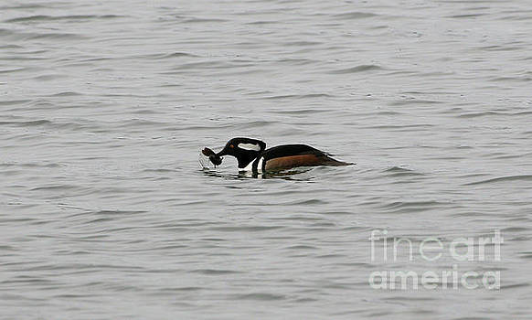 Hooded Merganser by Lori Tordsen