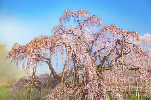 Miharu Takizakura Weeping Cherry29 by Tatsuya Atarashi