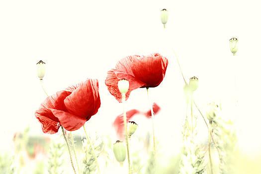 Poppies by Falko Follert