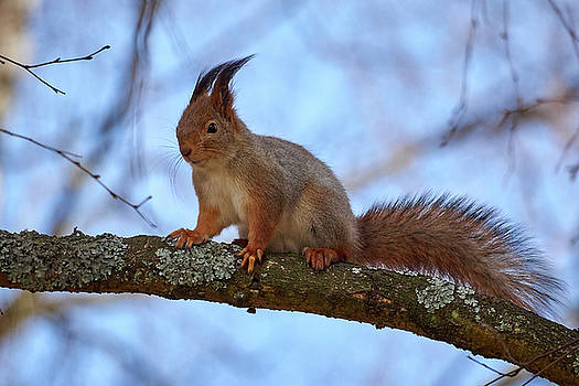 Red squirrel by Jouko Lehto