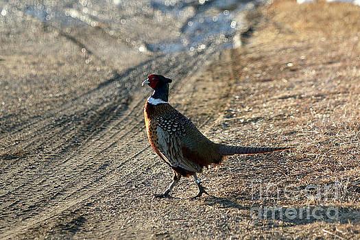 Ring-necked  Pheasant  by Lori Tordsen