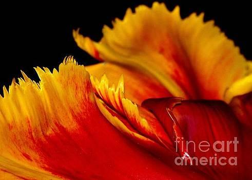 Tulip by Sylvie Leandre