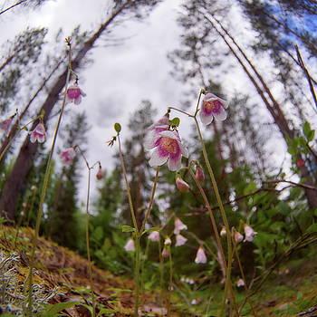 Twinflower by Jouko Lehto