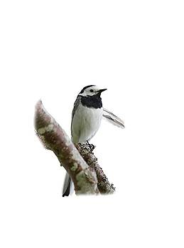 White wagtail with transparent background by Jouko Lehto