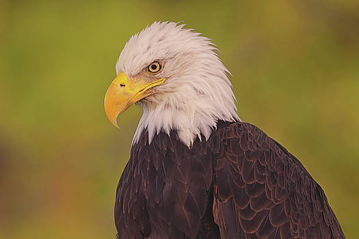 Bald Eagle  by Brian Cross