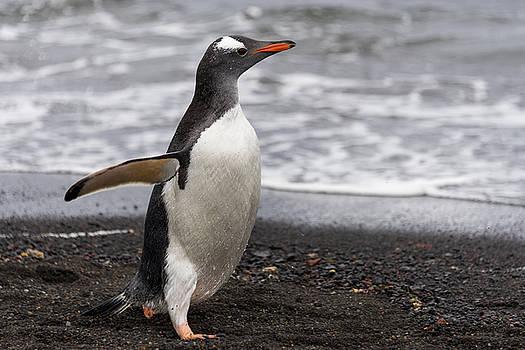Gentoo penguin by Alexey Seafarer