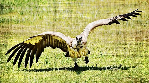 large Cape vulture by Werner Lehmann