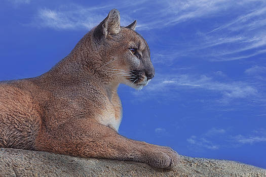 Mountain Lion  by Brian Cross