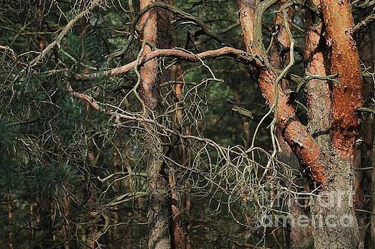 Pine Forest by Dariusz Gudowicz