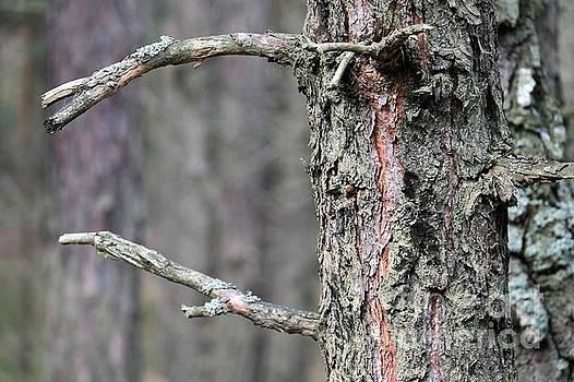 Pine Tree by Dariusz Gudowicz