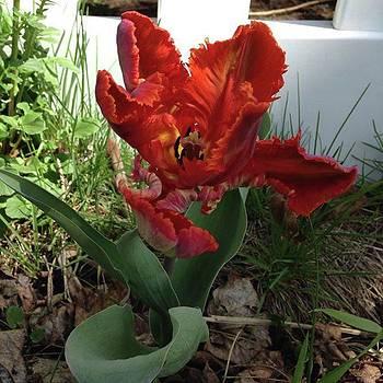 Tulip by Amanda Richter