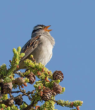 Dee Carpenter - White Crowned Sparrow