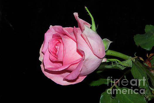 Pink Rose by Elvira Ladocki