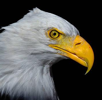 Bald Eagle 2 by Brian Stevens