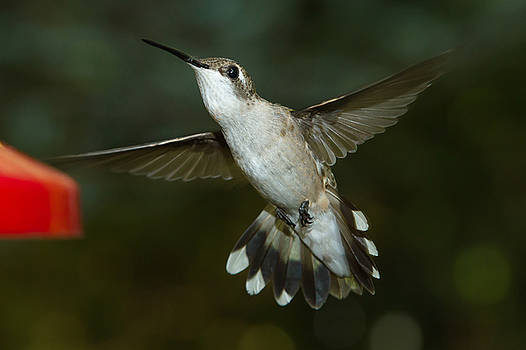 Female Ruby-Throated Hummingbird by Robert L Jackson