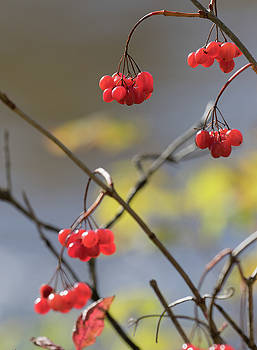 Dee Carpenter - High Bush Cranberry