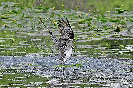 Osprey Fishing by Jack Moskovita