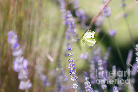 Pieris brassicae, the large white, also called cabbage butterfly by Amanda Mohler