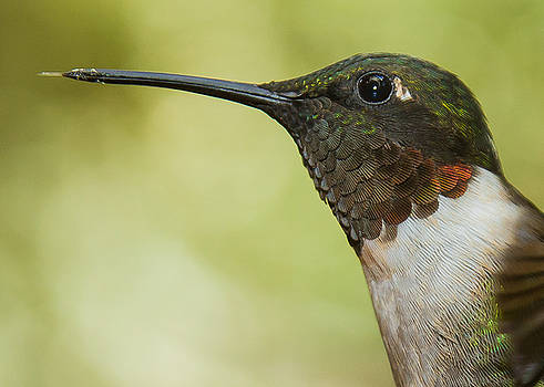 Ruby-Throated Hummingbird by Robert L Jackson