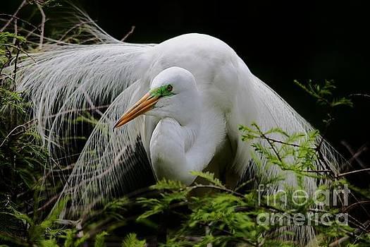 Paulette Thomas - Great White Egret