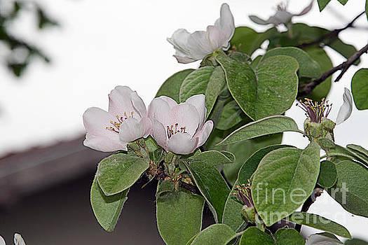 Tree Blossoms by Elvira Ladocki