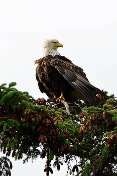 A Bald Eagle in all its Grandeur by Patricia Twardzik