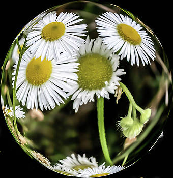 A Ball Full of Daisies by Keith Bowen