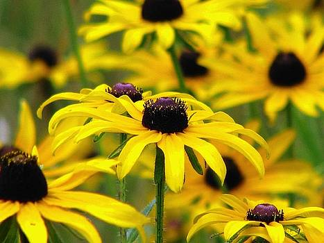 A Black Eyed Susan Summer Celebration by Angela Davies