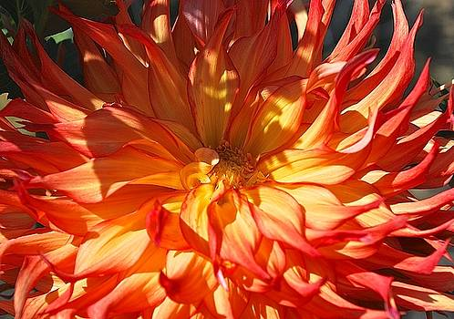 A Blaze Dahlia Days by Suzanne McDonald
