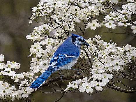 A Chatty Bluejay by J Cheyenne Howell