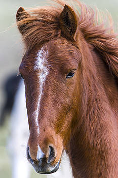 A Chestnut Horse portrait by Andy Myatt