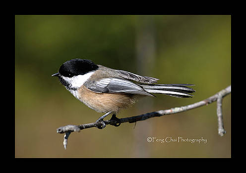 A Chickadee by Feng Chai
