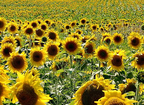 A Chorus Of Sunflowers by Martha Layton Smith
