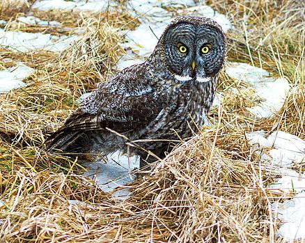 A Close Encounter - Great Gray Owl by Lloyd Alexander