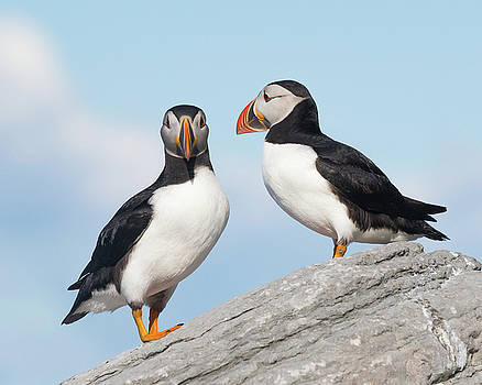A Couple of Puffins by Paul Treseler