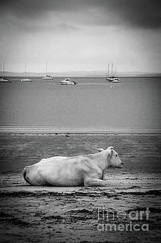 RicardMN Photography - A cow on the beach