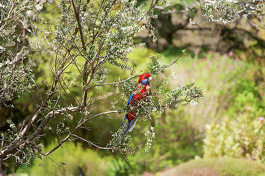 A Crimson Rosella at Mount Tomah Botanic Garden, Australia by Daniela Constantinescu